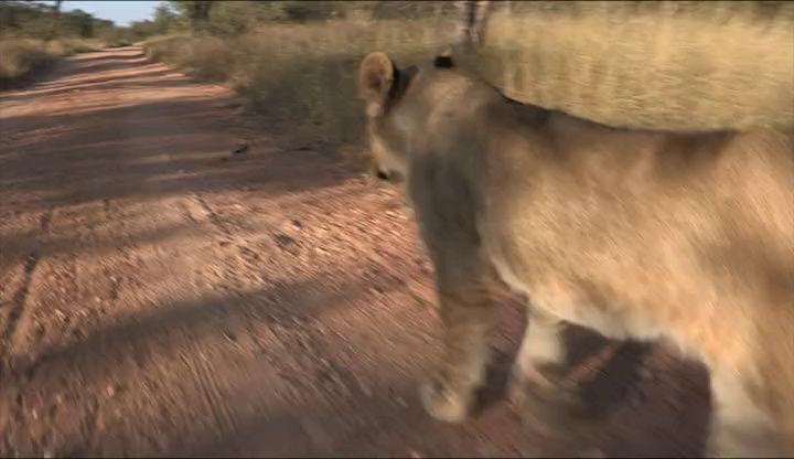 Lion Walk up close...