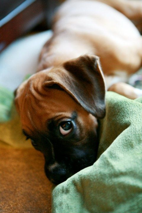 """I was trying to sleep, but if you want to snuggle, that would be okay by me.""  (boxer)"