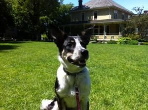 Hayley is an adoptable Border Collie Dog in West Vancouver, BC. Hayley is a seven and a half month old border collie/ cattle dog/ australian kelpie cross. She is house trained, up to date with her sho...