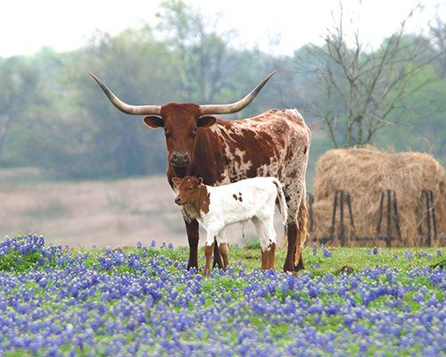 Photo contest winner, Michael Mallory, captured this sweet bluebonnet photo with cattle in Washington County, Texas.