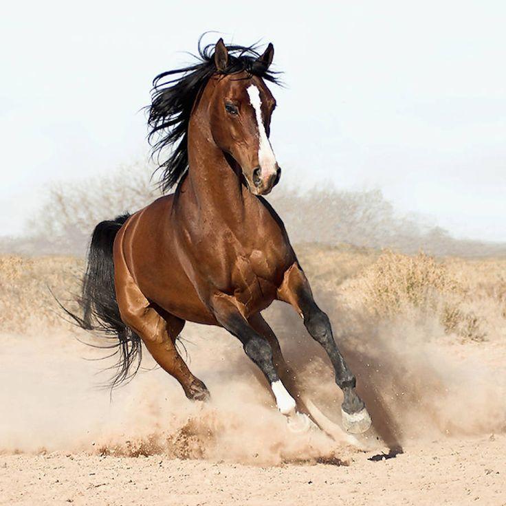 Surpreendentes imagens de cavalos árabes