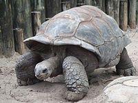Giant tortoise - Aldabra giant tortoise.