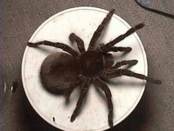 This fucking thing is a Goliath spider, they live in south ...