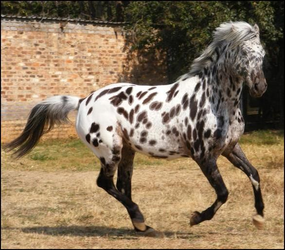dark bay near leopard - Appaloosa stallion Maluti Toby's ...