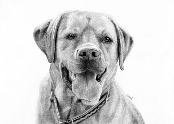 Portret labradora wykonany ołówkiem