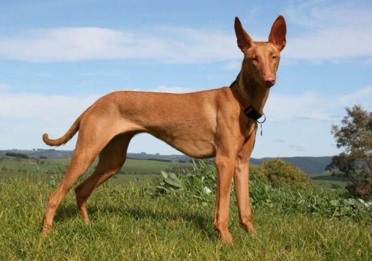 Pharaoh-Hound-alert-dogs-with-least-health-issues