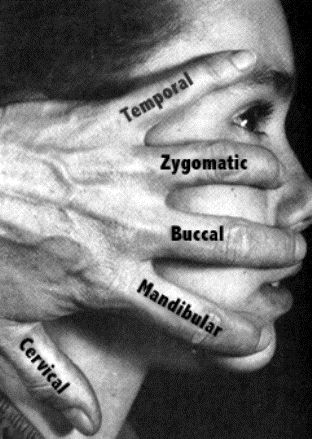 Branches of facial nerve: Temporal, Zygomatic, Buccal, Mandibular, Cervical...  It branches out to innervate the muscles of the face and scalp, and also the salivary glands and lacrimal glands of the eye . Sensory information comes from the tongue.
