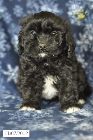 Nebula - Shichon Puppy for Sale in Loudonville, OH - Shichon - Puppy for Sale.....MY NEW BABY!