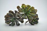 12 inch Aeonium Bush (w)
