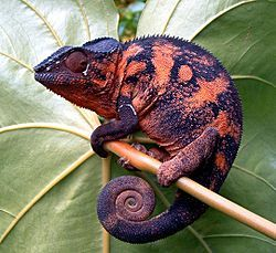 CHAMELEON PARDÁLÍ -vyskytuje na Madagaskaru a na přilehlých ostrovech a  dospělý samec může dorůst délky až 52 cm