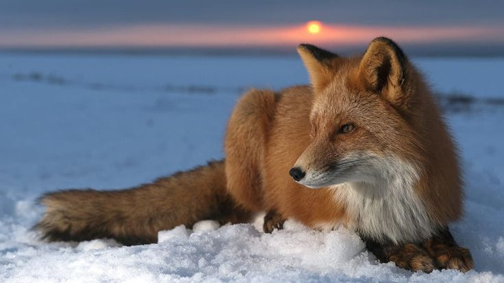 Fox usually live in dens dug underground but may also live in cozy burrows above ground.