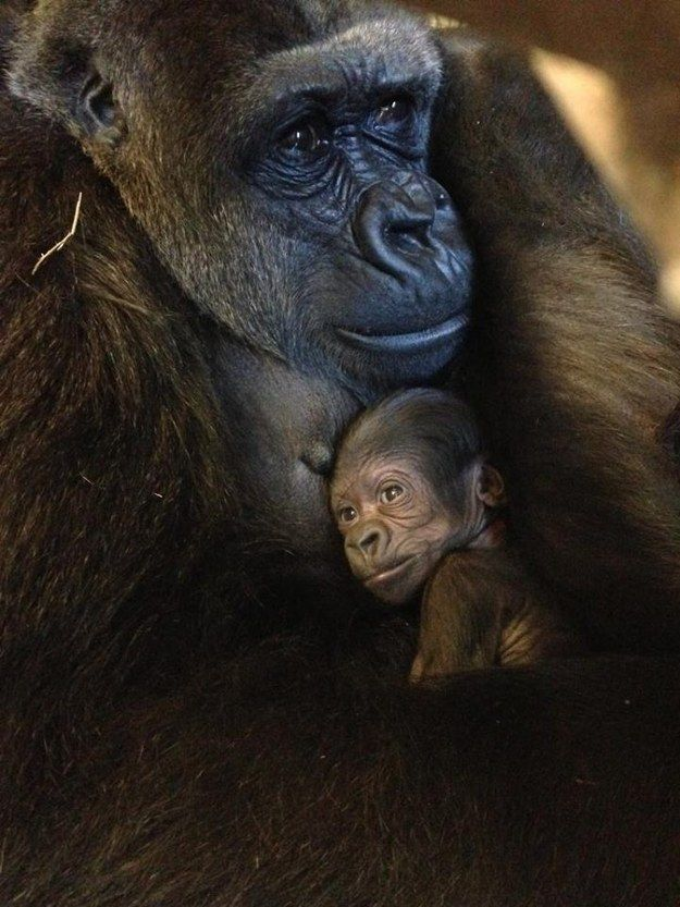 This gorilla spending some quality time with her mom. | The 37 Cutest Baby Animal Photos Of 2014