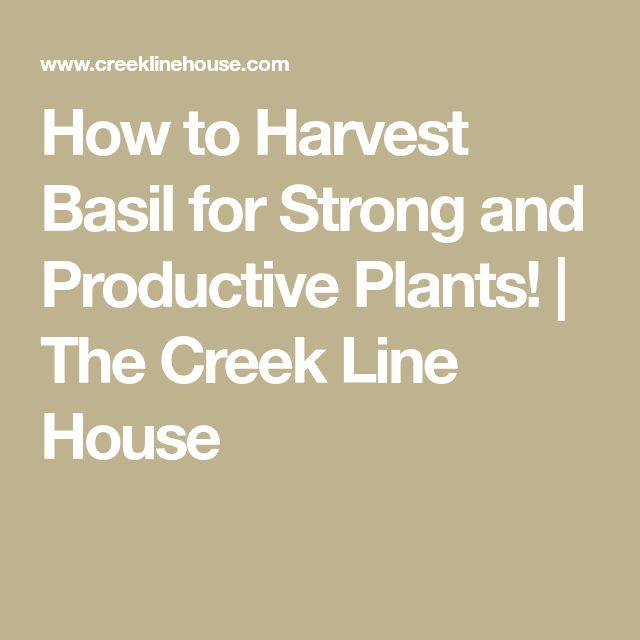 11 best instant essentials images on pinterest essential oil how to harvest basil for strong and productive plants the creek line house fandeluxe Gallery