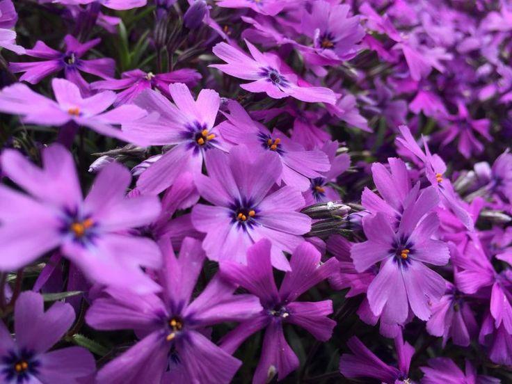 Polsterphlox als perfekter Bodendecker im Garten.