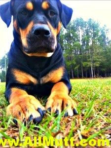 Gracie the Rottweiler American Pit Bull Terrier Mix *(reminds me a bit of me wittle baby)*