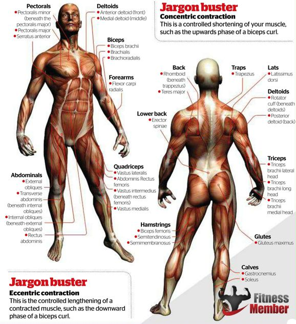 Muscle Exercise: Exercise Muscle Groups Chart