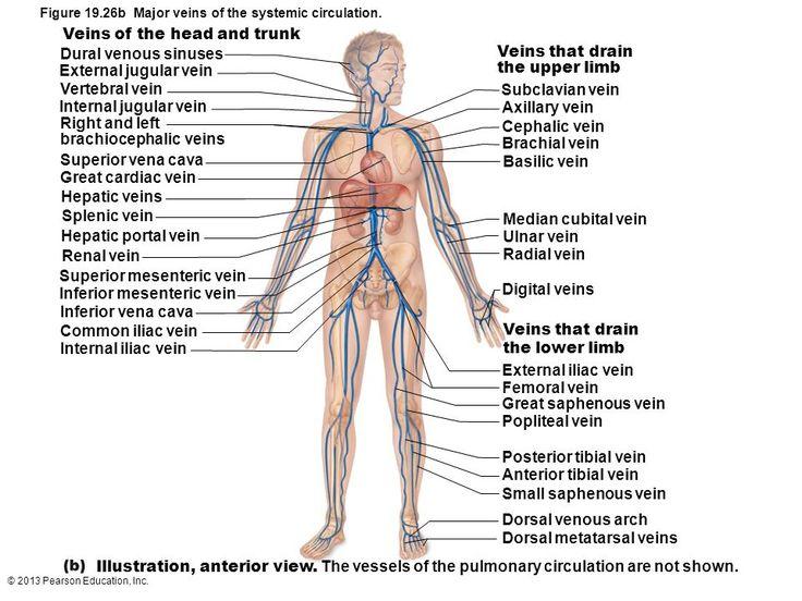 Related image   Anatomy   Pinterest   Anatomy