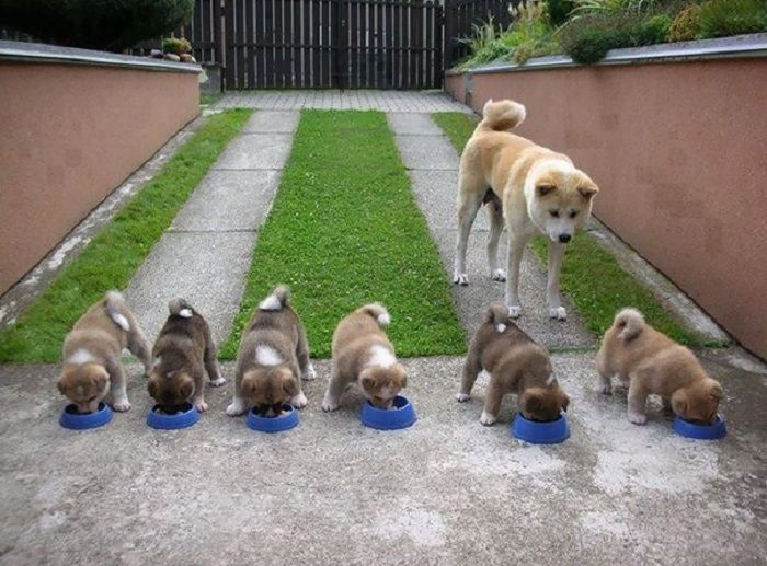 Canine Families