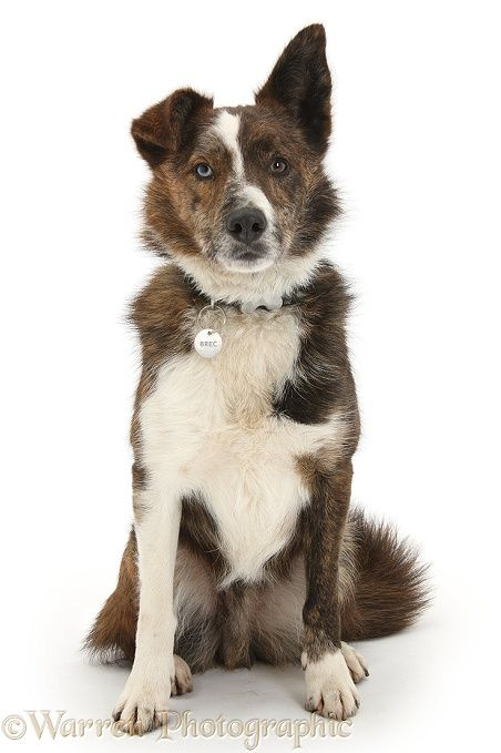 Mongrel dog with collar and name tag