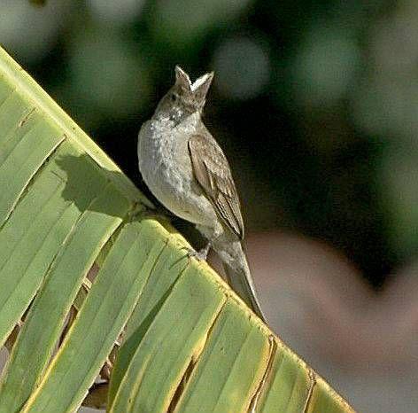 Fio-fio  En Chile hay dos subespecies de Elaenia albiceps. La más común (E. a. chilensis) se encuentra entre los bosques y arbustos altos desde Atacama a Tierra del Fuego y es una de las especies más abundantes de esa zona pero es difícil de ver por las caracteríasticas del hábitat que prefiere, pero su triste trinar que le da su nombre lo delata. La subespecie que en Chile sólo se le encuentra en Arica, es El Fío-fio Peruano (E. a. modesta), la que en verano ocupa las costas del Perú y en…