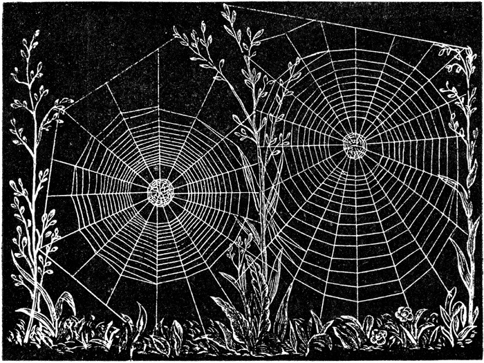 web of epeira strix an orb weaving spider