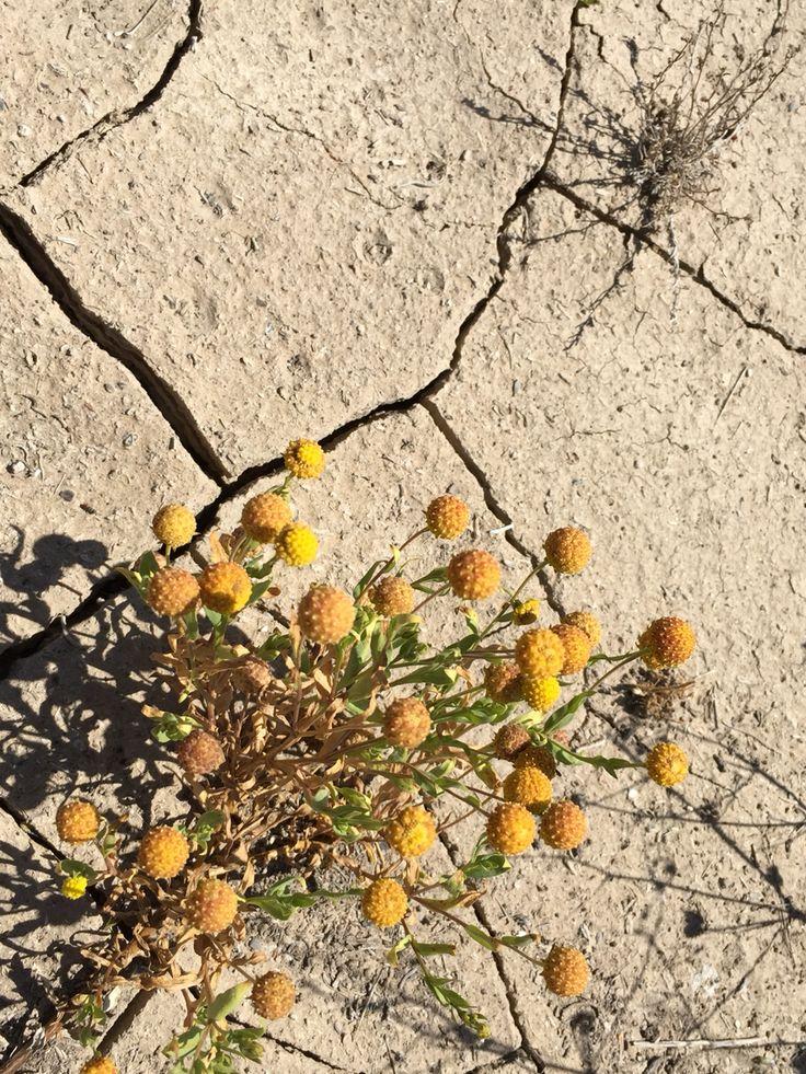 Flor del desierto florido