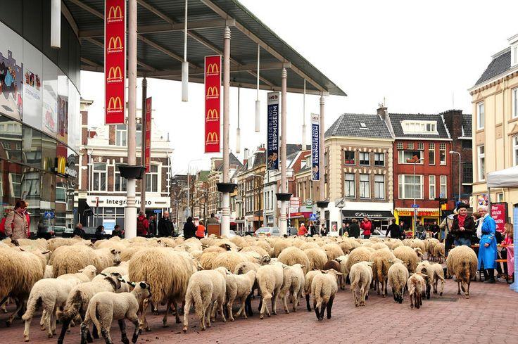 Schapen in Groningen (2012). Netherlands.