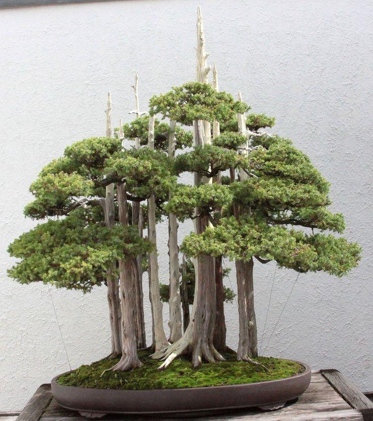 Chinese Juniper: Juniperus chinensis - National Arboretum Bonsai Collection - Training Date: 1953