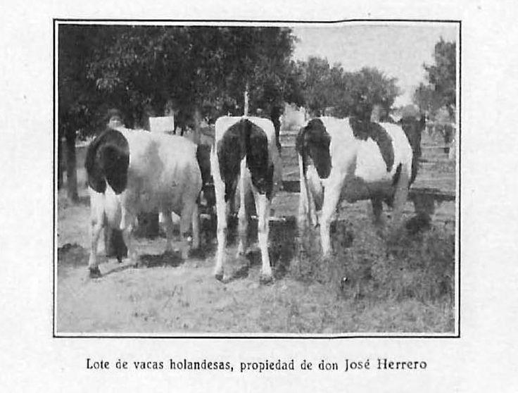"""""""Lote de vacas holandesas, propiedad de don José Herrero"""". Lámina perteneciente a Memoria del concurso provincial de ganados, aves de corral e industrias derivadas y complementarias de la ganadería : celebrado en Córdoba en 1932. Disponible en http://helvia.uco.es/xmlui/handle/10396/6586"""