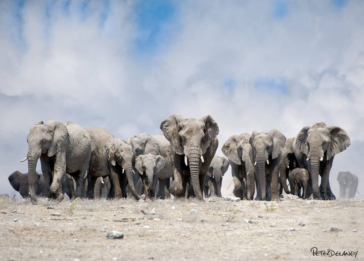 A herd of elephants captured as they were leaving a nearby waterhole in the Etosha National Park in Namibia by award winning photographer Peter Delaney. To purchase this or any of his African Wildlife Prints, visit this link & get a 25% discount: http://blog.peterdelaney.co.za/blog/african-wildlife-print-sale/ Facebook Page 500px Twitter Google+ Insta