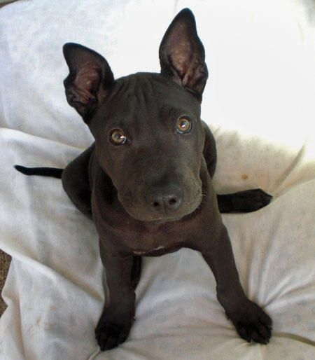 pit bull mix with terrier best 25 pitbull mix breeds ideas on pinterest doberman 8096