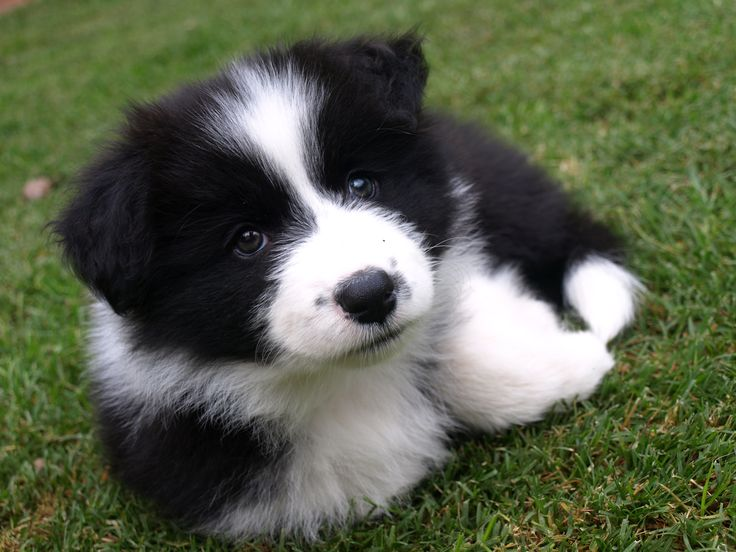 This Boarder Collie is sooo cute!!! Of course not as cute as mine was when she was a pup though!