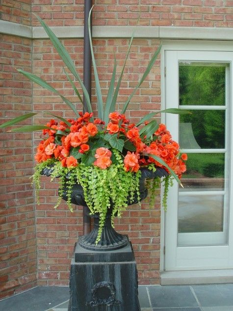 Stunning orange begonias with creeping jenny floweres Container plant ideas front door