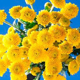 Vibrant Assorted Yellow Chrysanthemum Button Flowers   Global Rose