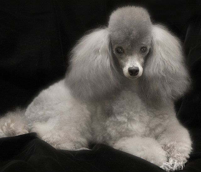 Silver Toy Poodle....This looks like my Abbie if Emma would stop chewing on her ears when they play...