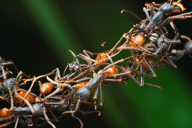 Ants Build Complex Structures With a Few Simple Rules | Simons Foundation