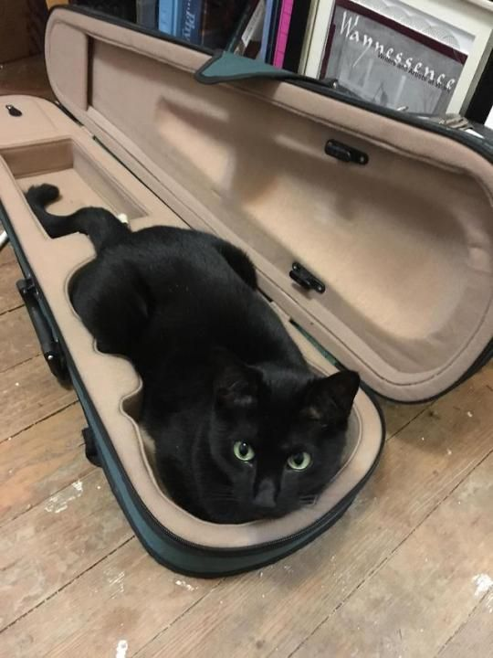 Black cat snuggles down into a violin case.