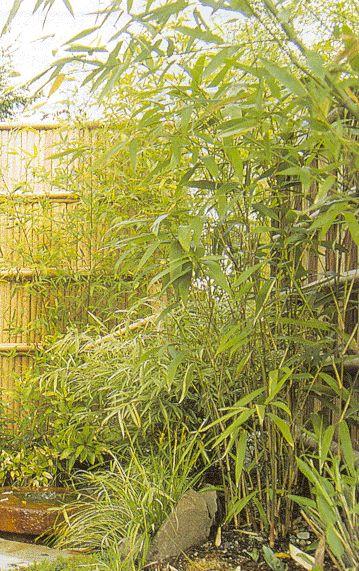 phylostachys aurea 'hedge bamboo' golden