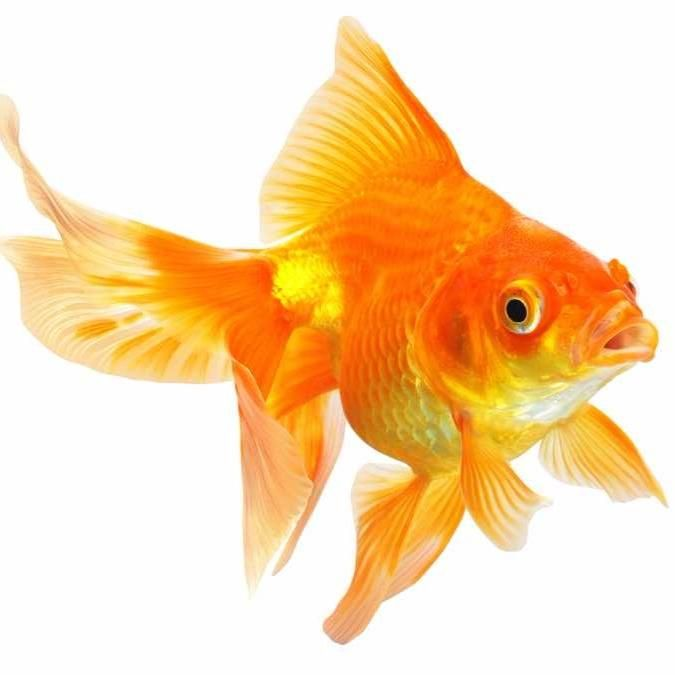 Goldfish Care:A branch about the care of our favorite fishy friends…