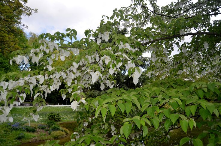 Davidia involucrata,  Fam. Davidiaceae