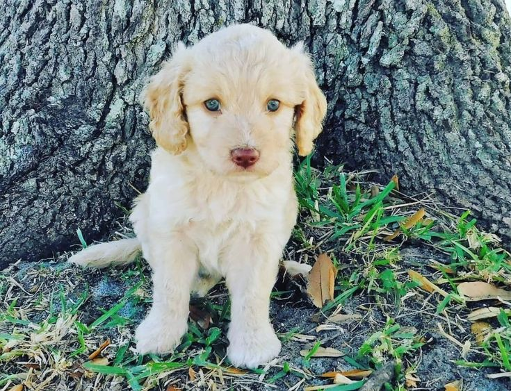 mini golden retriever puppies mn
