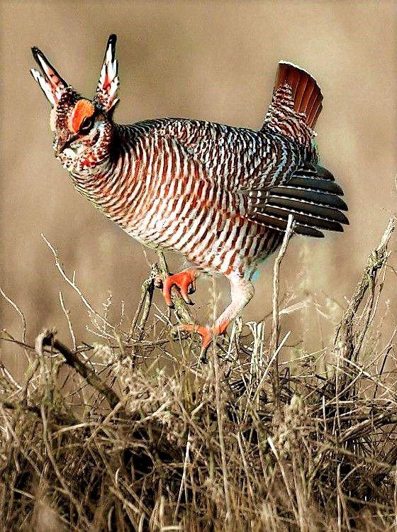 (Male) Lesser Prairie Chicken