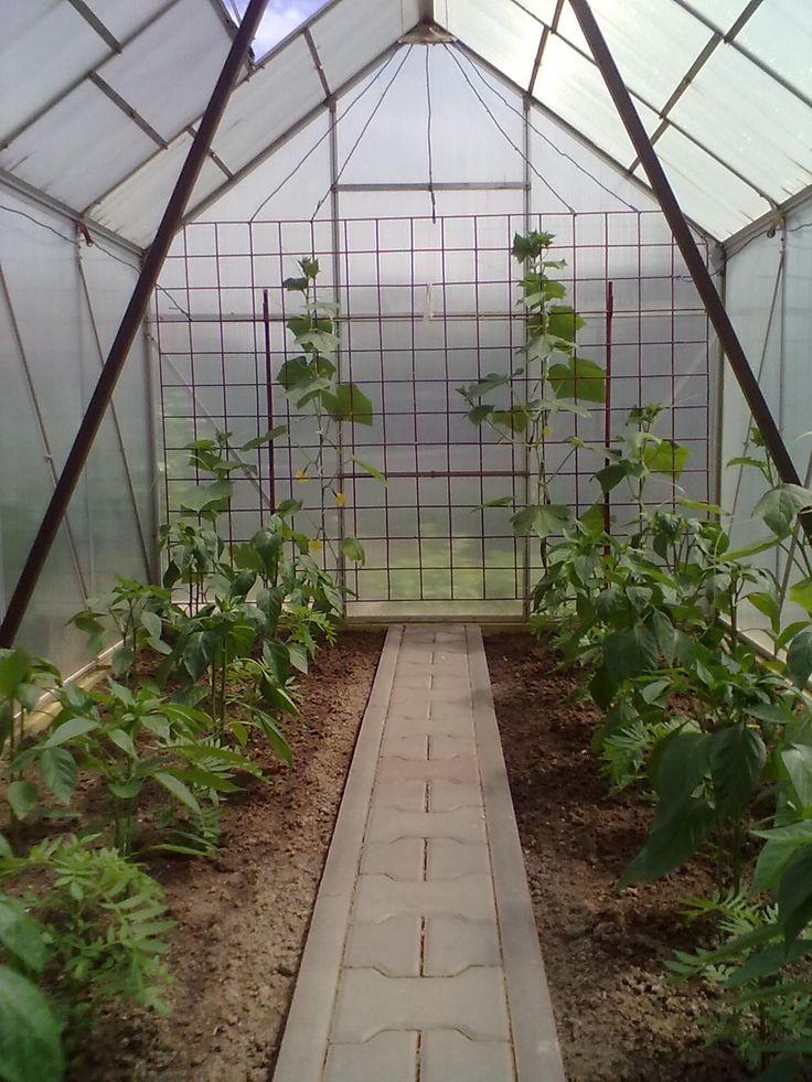 Začaly kvést okurky  (roste to)