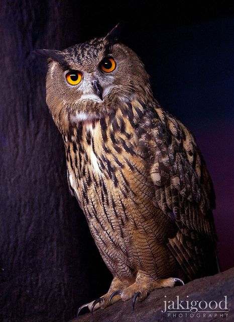 Eagle Owl - So Wise Looking :)