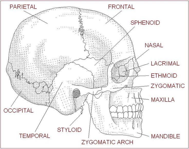 Blank Skull Worksheet 32 Skull Bones Worksheet Free