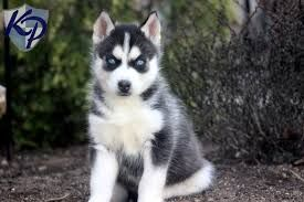 Image result for pictures of pomeranian husky mix