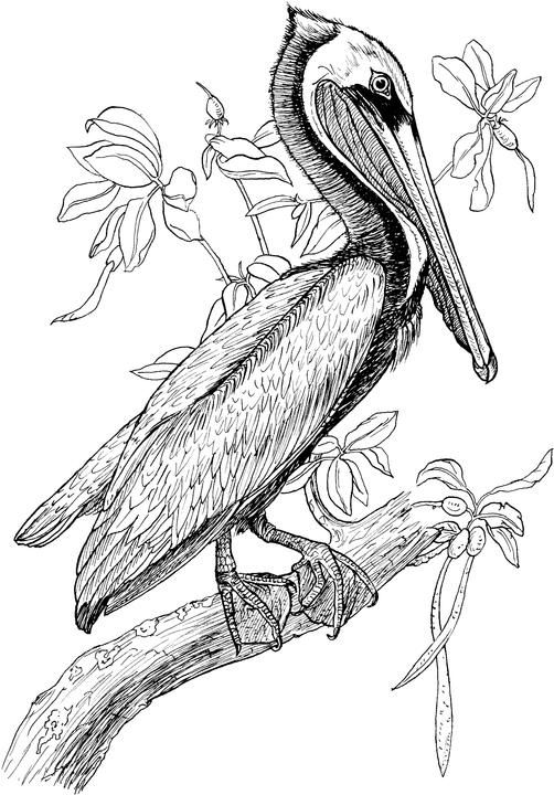 Pelican Coloring Page Embroidery Idea Embroidery