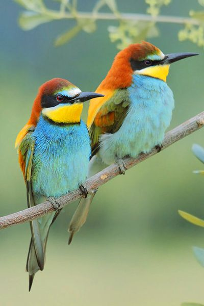 """These are Bee Eaters I believe. """"We can be truly useful to others if we follow that which enriches and inspires us."""" — Piero Ferrucci by ~FrancoBorsiWildLife"""
