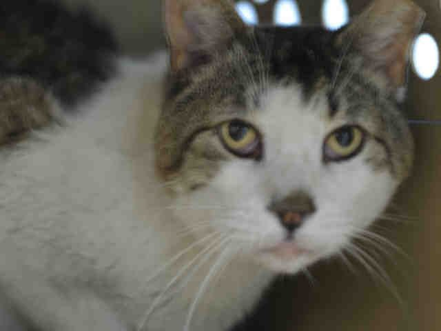 HOBBS - A1116381 - - Brooklyn  ***TO BE DESTROYED 06/28/17***  HANDSOME HOBBS IS FIV POSITIVE AND NEEDS A RESCUE ANGEL TONIGHT.  Hobbs was brought in as a stray – he is 8 yrs old and is FIV positive. He also has dental disease, diarrhea, and possibly other serious infection issues.  Needs medical help asap.   Fostering is free and will get him the vetting he needs.  HOBBS ALLOWS A SLOW APPROACH WITH PETTING AND NEEDS A PLACE TO RELAX – IF YOU CAN HELP THIS KITTY