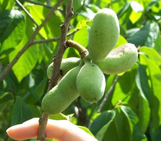 The Next Superfruit Growing In Your Backyard Pawpaw Trees Produce The  Largest Edible Fruit Native To North America, And Theyu0027re Perfect For  Backyard ...